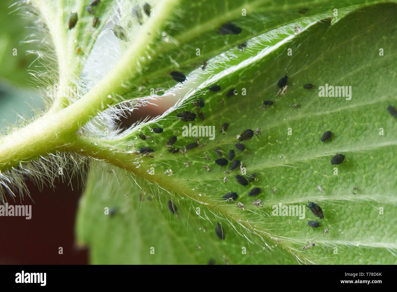 black-aphids-infest-the-underside-of-strawberry-plant-fragaria-ananassa-leaves-T78D6K.jpg
