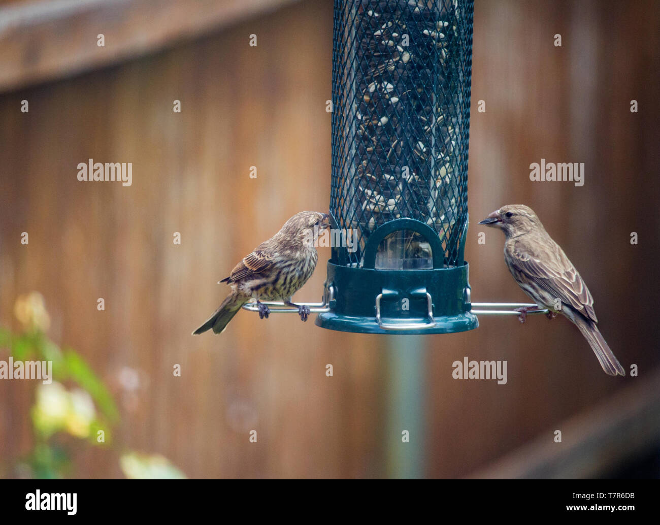 https://c7.alamy.com/comp/T7R6DB/wrens-at-bird-feeder-T7R6DB.jpg