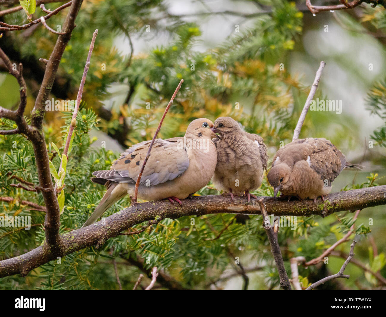 mourning-dove-zenaida-macroura-parent-fe