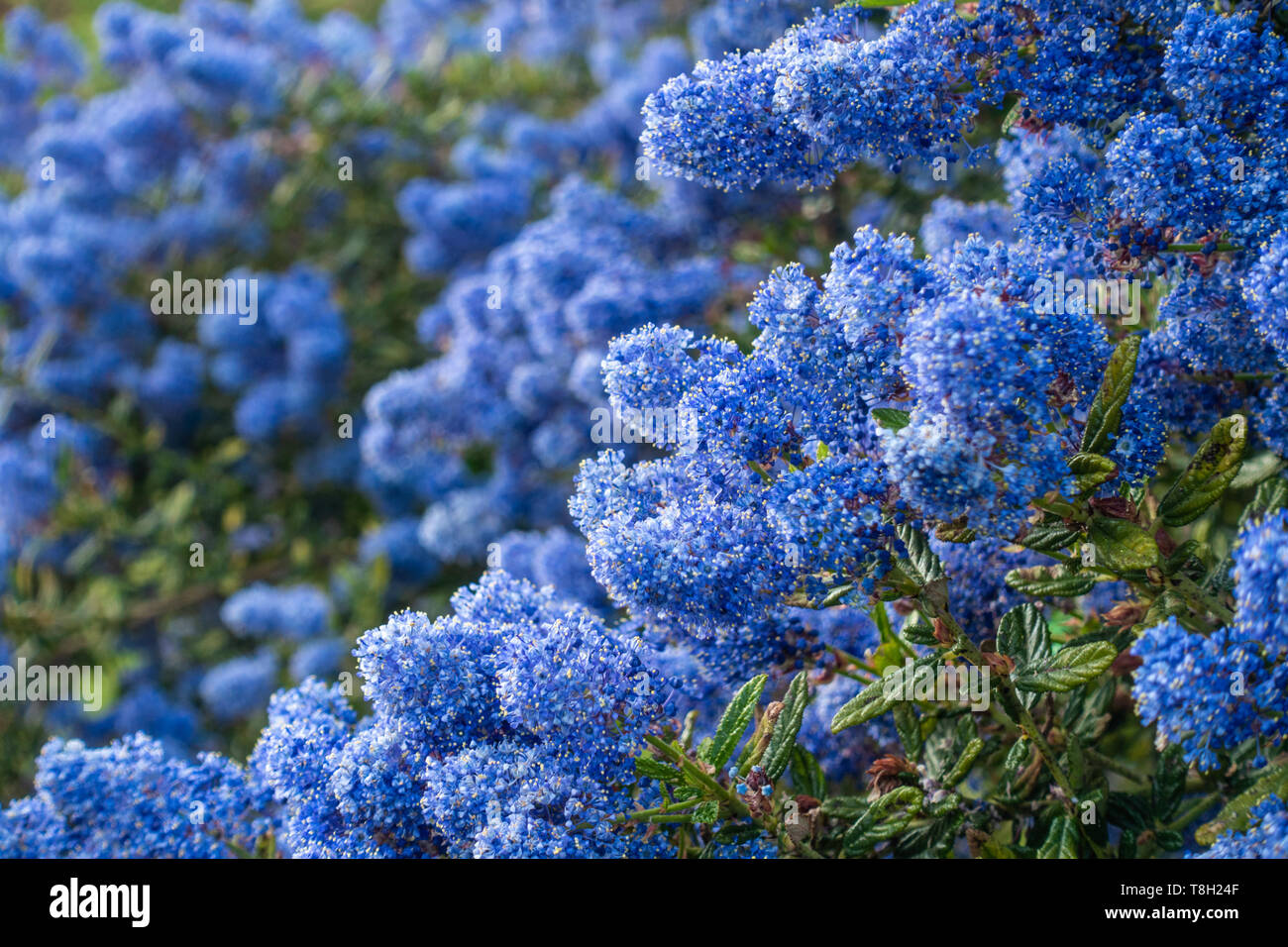 close-up-view-of-blue-ceanothus-flowers-T8H24F.jpg