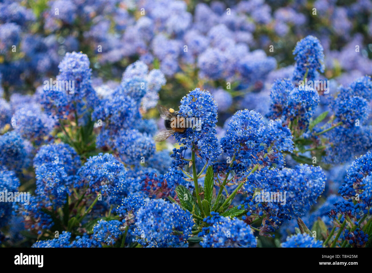 a-bumblebee-on-blue-ceanothus-flowers-T8H25M.jpg