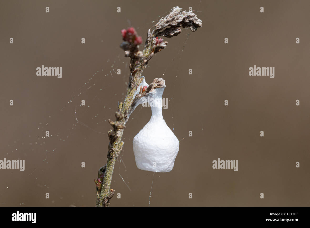 Egg case of a fairy-lamp spider (fairy lamp spider, Agroeca brunnea) on heather, UK Stock Photo
