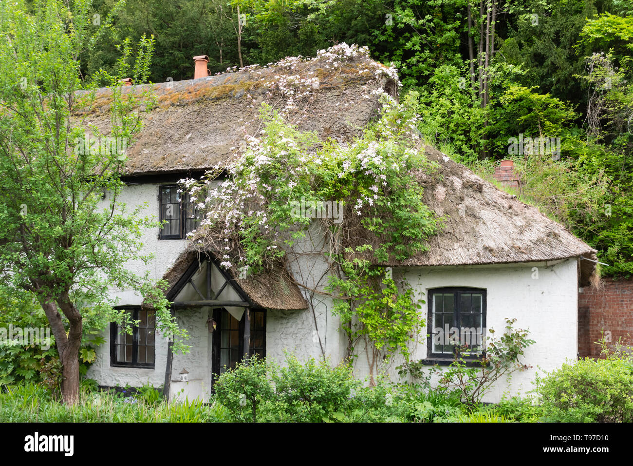 pretty-thatched-cottage-covered-with-flowering-clematis-in-pangbourne-in-berkshire-uk-during-may-T97D10.jpg