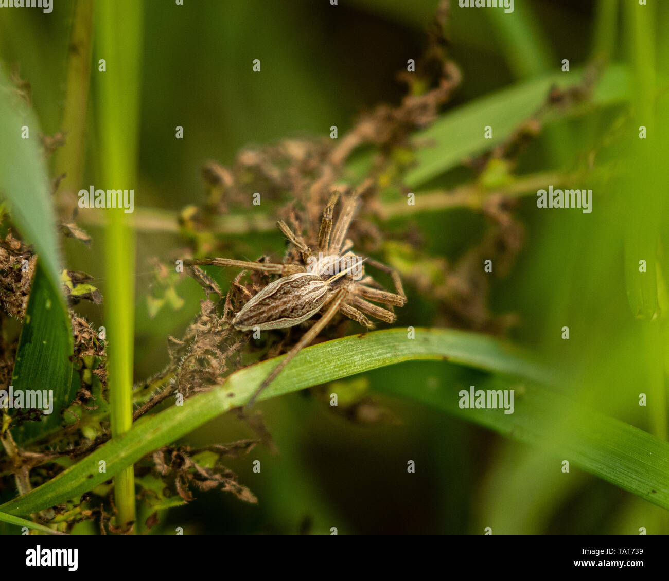 Buzzing Spider hiding in the long grass near Bells Mill, West Midlands, UK. - Stock Image