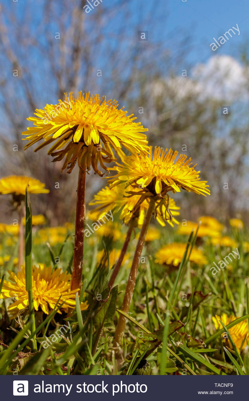 common-dandelion-taraxacum-officinale-no