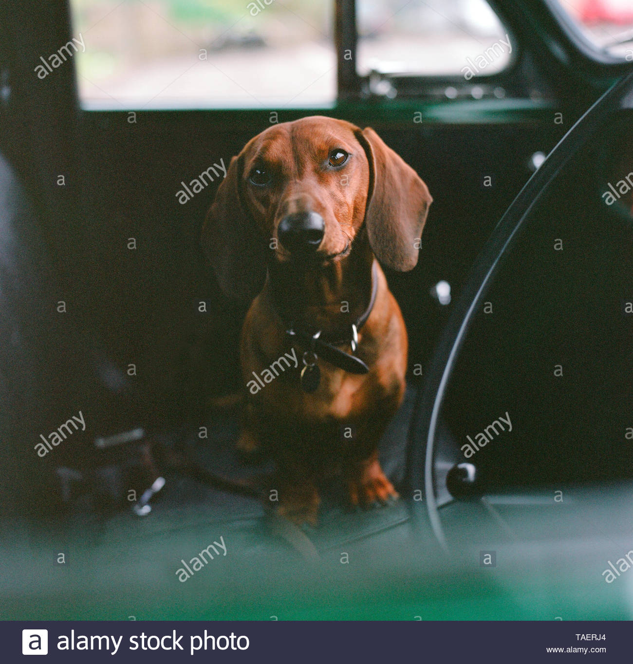 Dachshund dog looks at viewer, whilst sat on seat of a vintage motor vehicle. Stroud, UK. Stock Photo