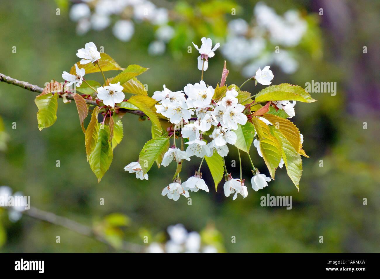 wild-cherry-blossom-prunus-avium-close-u