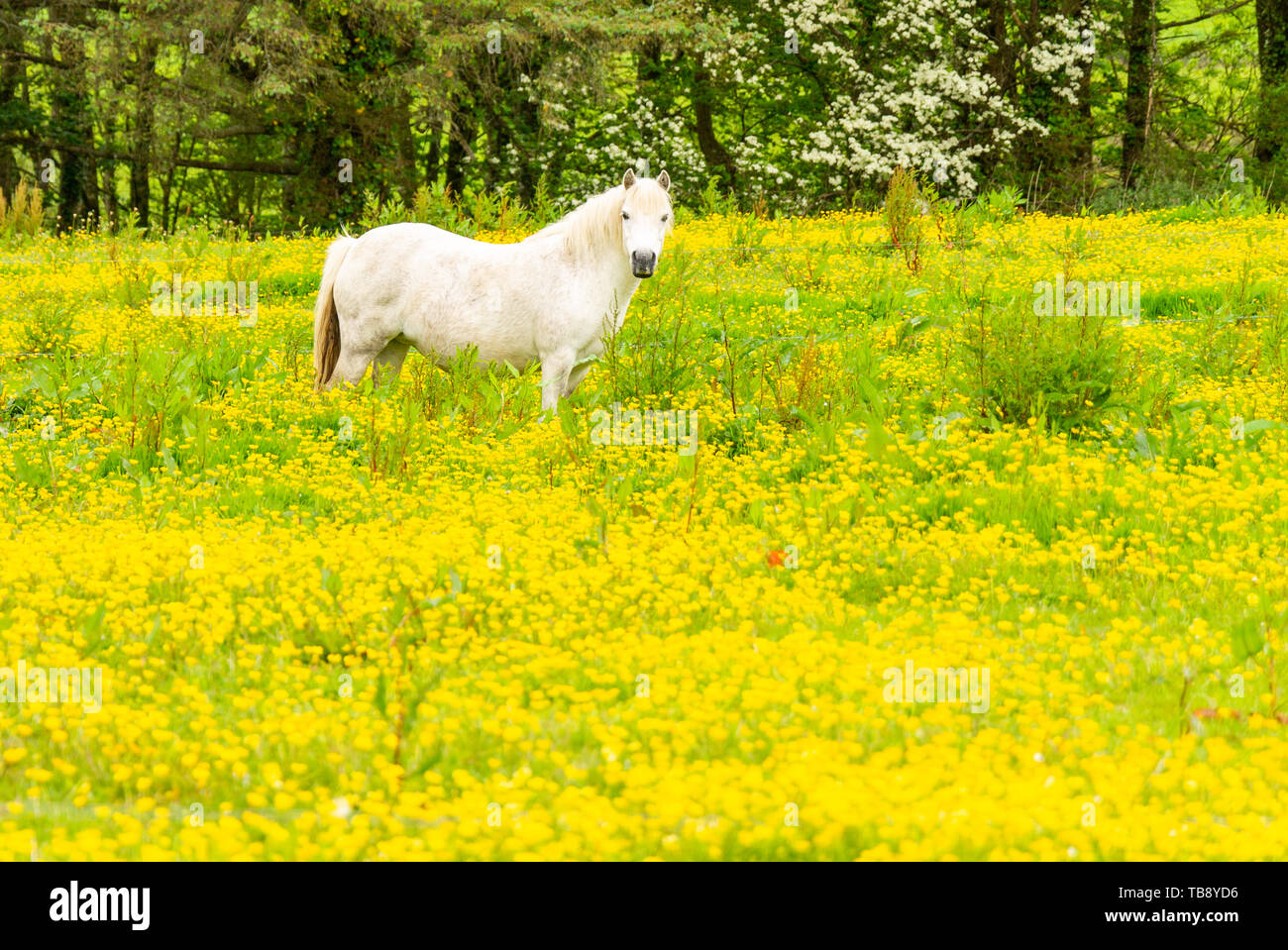 white-horse-equus-caballus-standing-in-a-field-of-buttercups-ranunculus-acris-TB8YD6.jpg