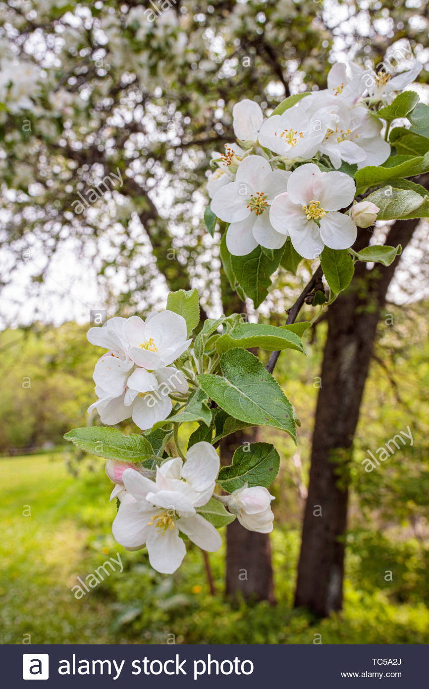 apple-blossoms-on-apple-tree-in-spring-i