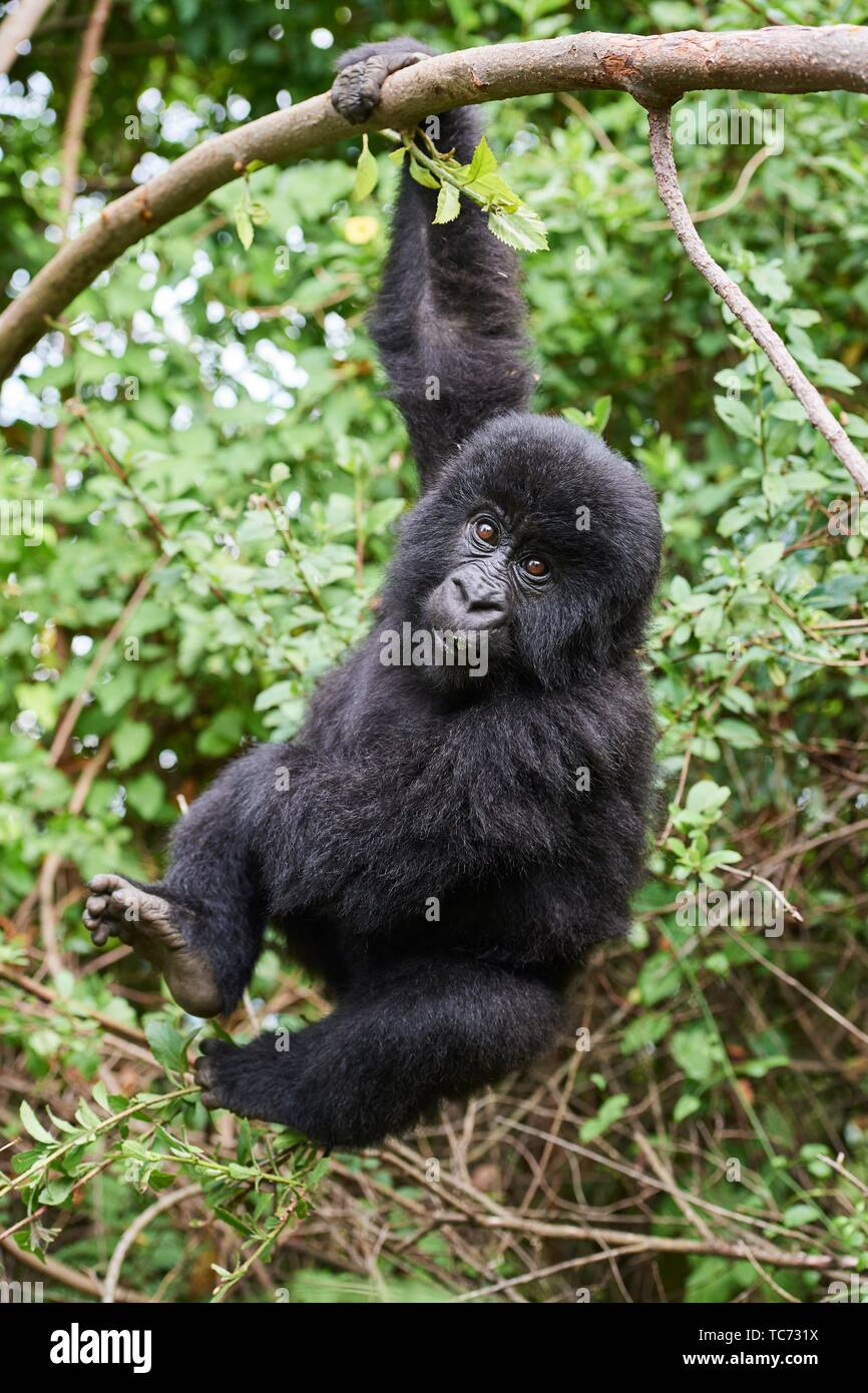 Mountain gorilla (Gorilla beringei) young baby - 2 year old - hanging from branch, member of the Nyakagezi group, Mgahinga National Park, Uganda. Stock Photo
