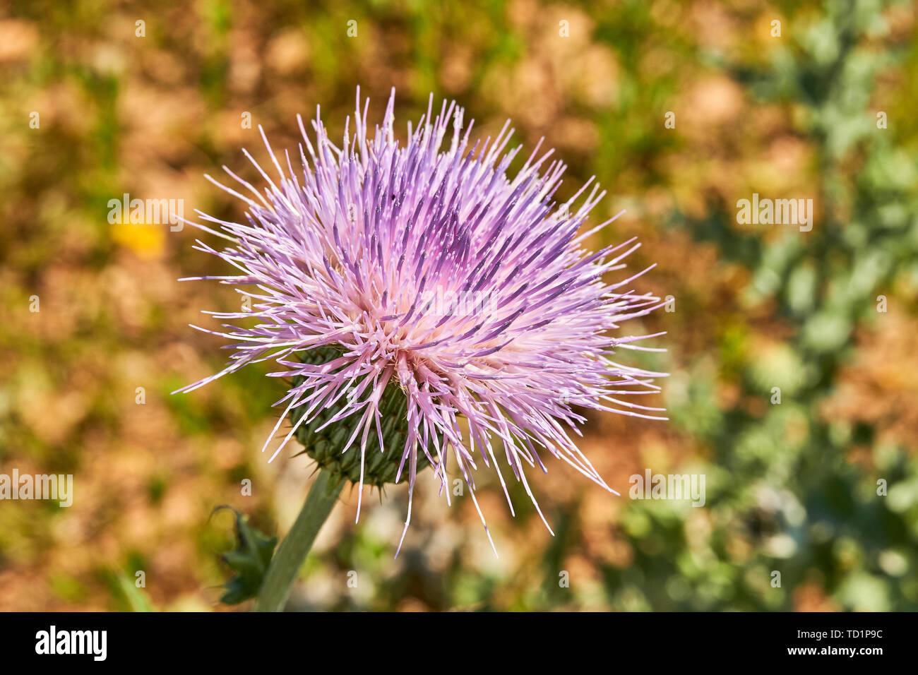 close-up-macro-of-isolated-beautiful-pink-texas-thistle-bloom-cirsium-texanum