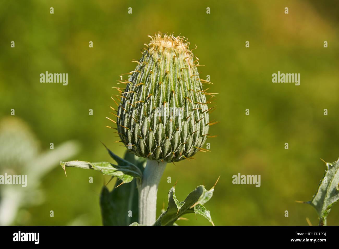 Texas Thistle Isolated preblossom bud (Cirsium texanum)