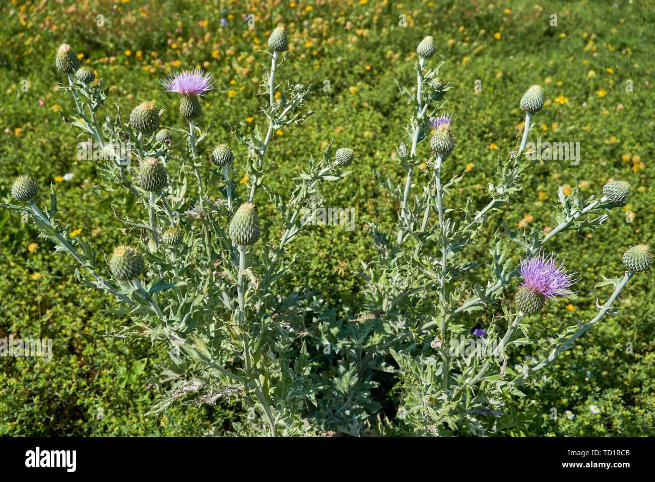 texas-thistle-plant-with-blooms-cirsium-texanum