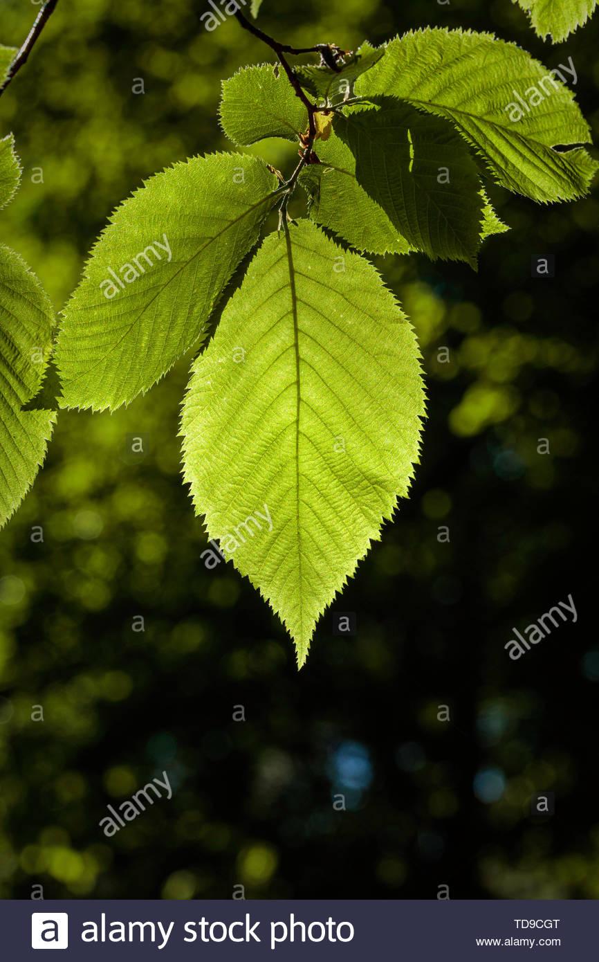 leaf-of-sweet-birch-tree-betula-lenta-ph