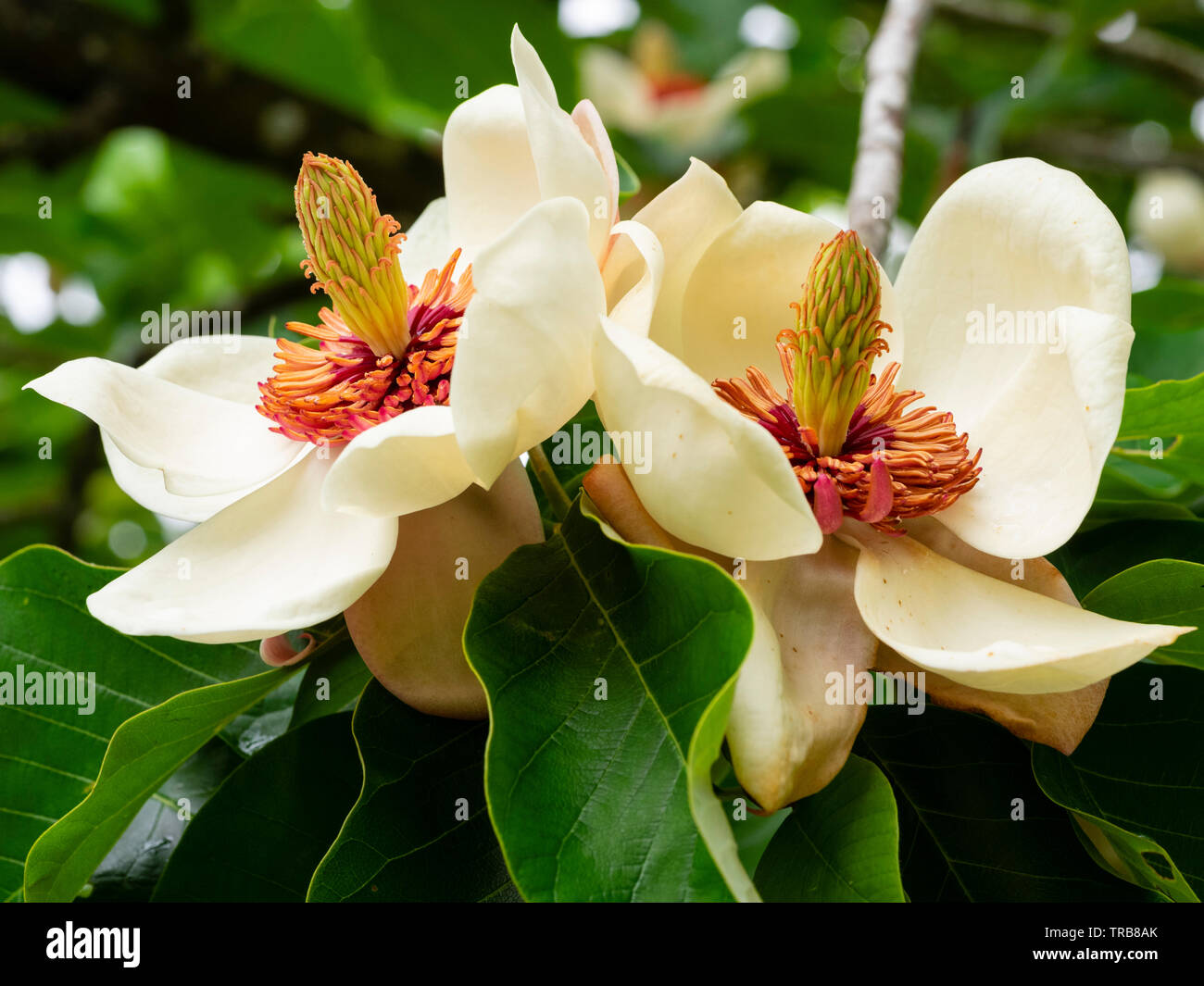 Elegant red centered white flowers of the hardy small ornamental tree, Magnolia x wieseneri Stock Photo