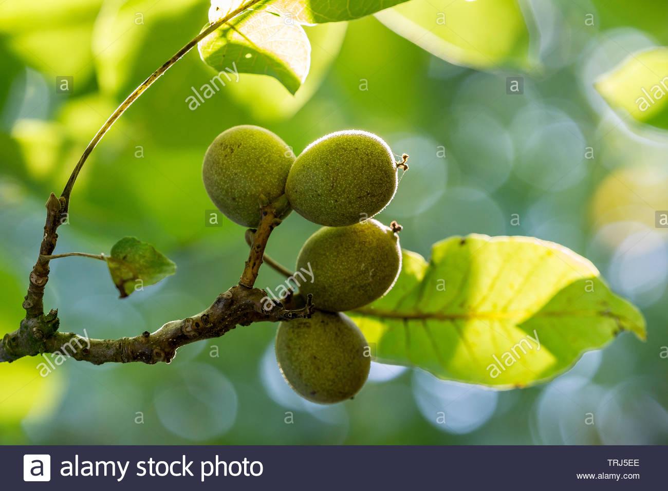 green-walnuts-TRJ5EE.jpg