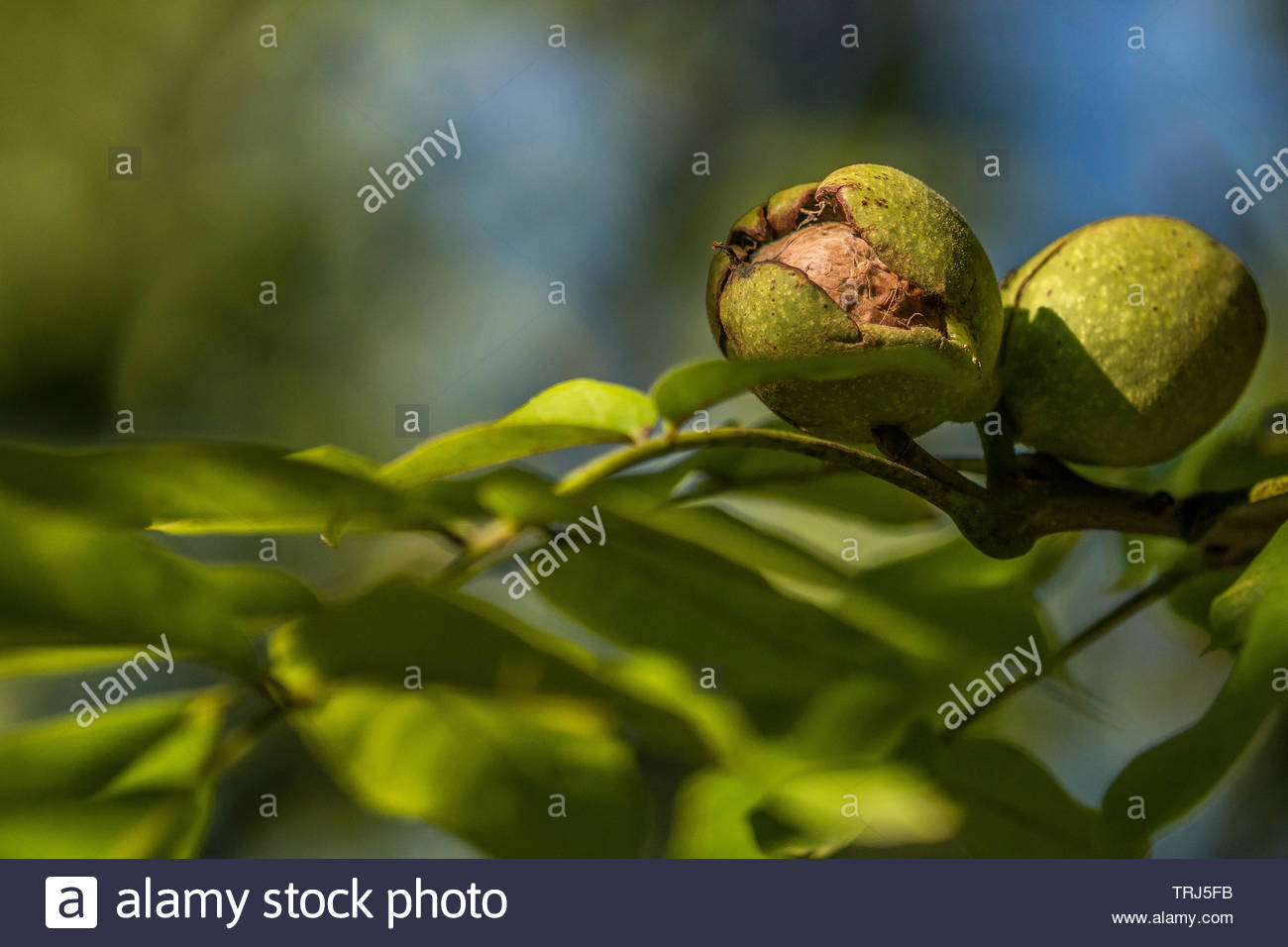 walnut-shell-inside-its-green-husk-TRJ5F