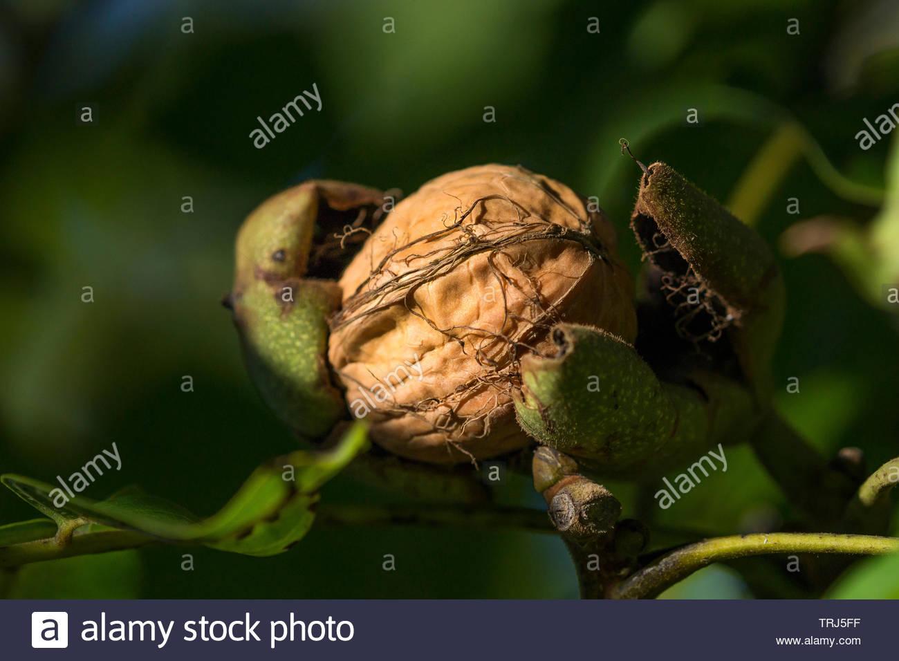 walnut-shell-inside-its-green-husk-TRJ5F