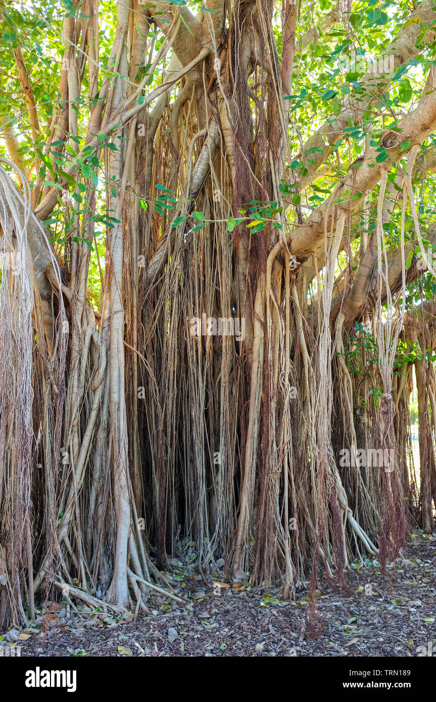 banyan-tree-also-known-as-strangler-fig-