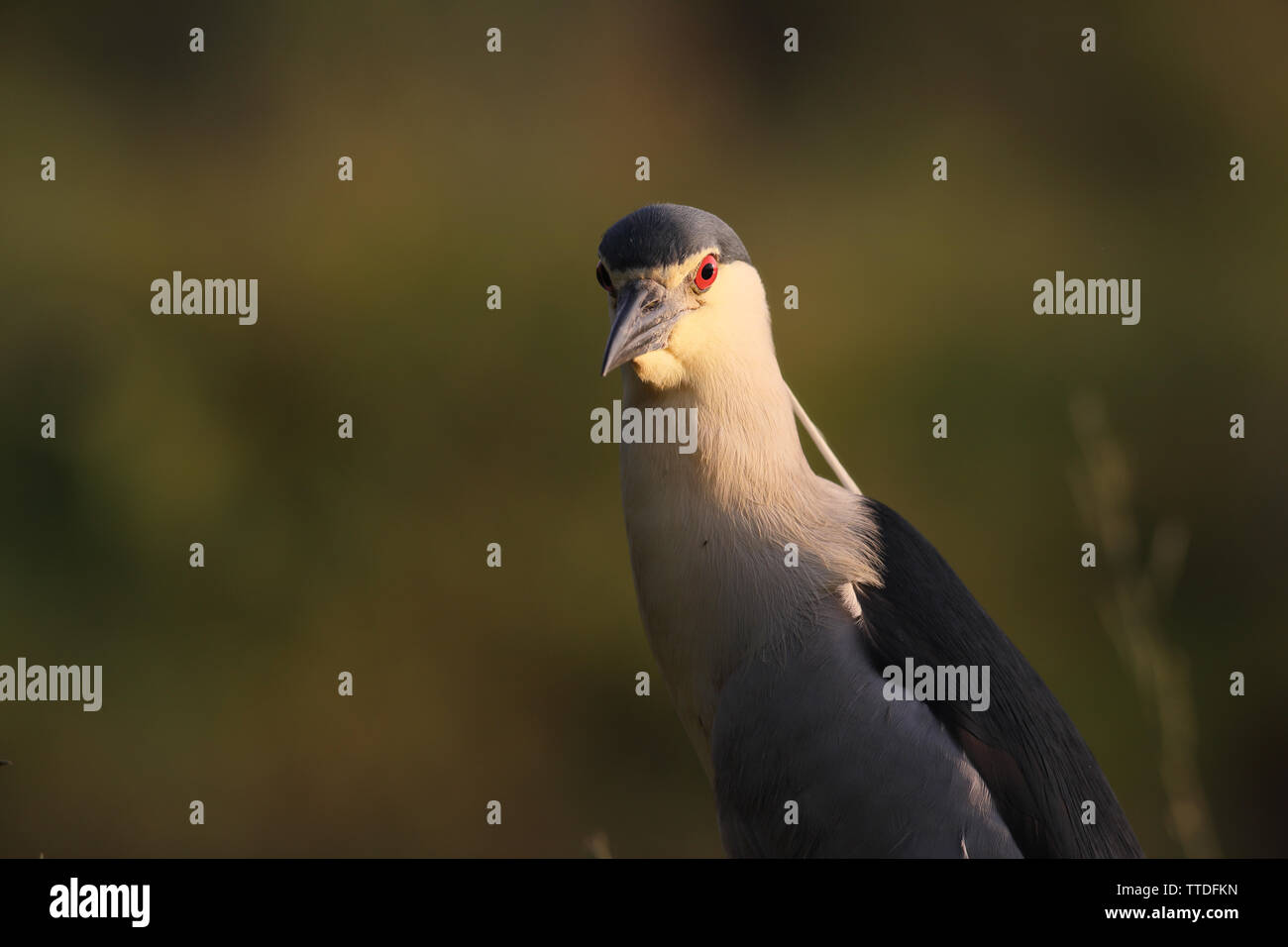 portrait-of-black-crowned-night-heron-ny