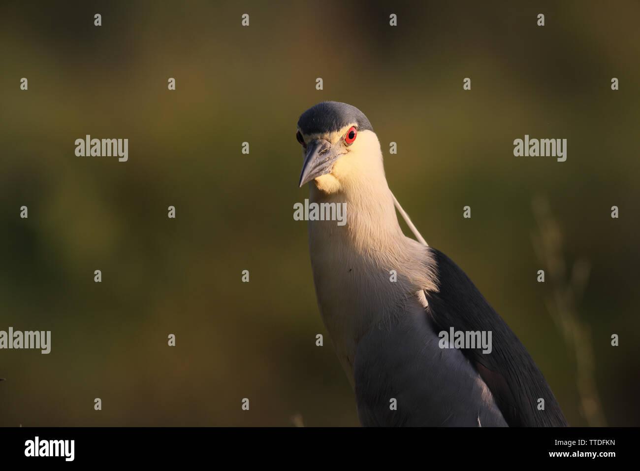 portrait-of-black-crowned-night-heron-ny