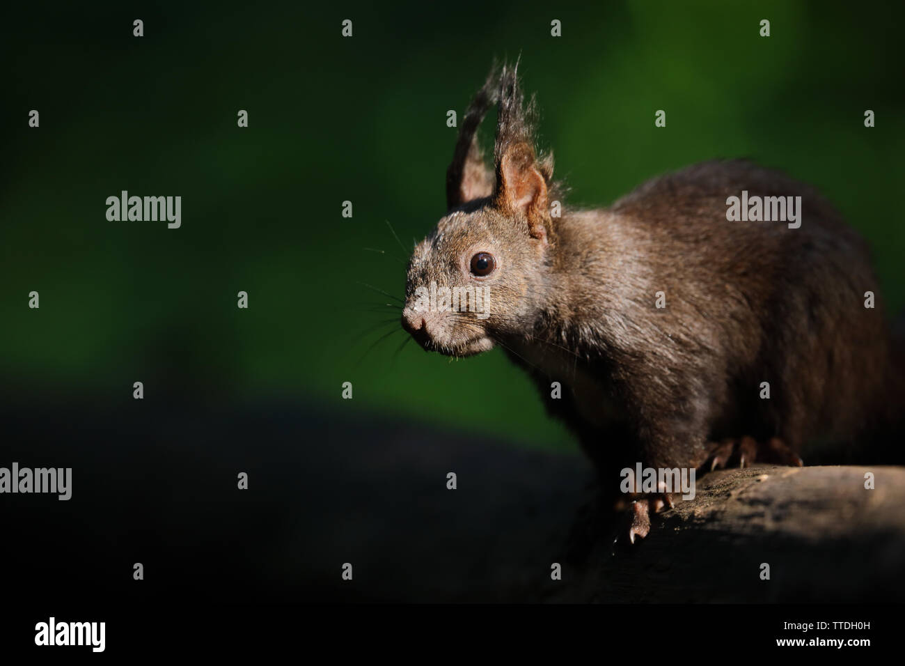red-squirrel-sciurus-vulgaris-closeup-ph