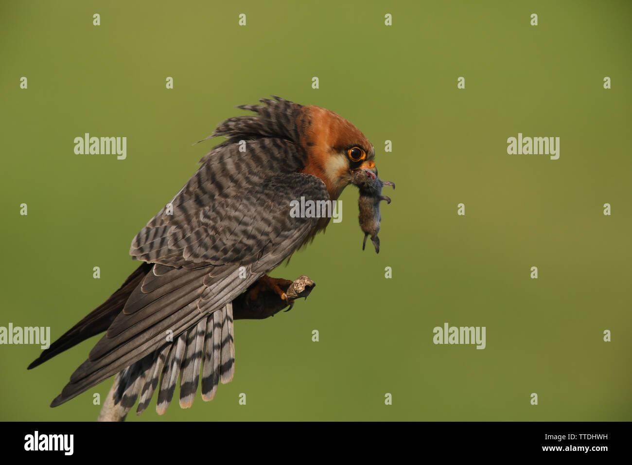 female-red-footed-falcon-falco-vespertin