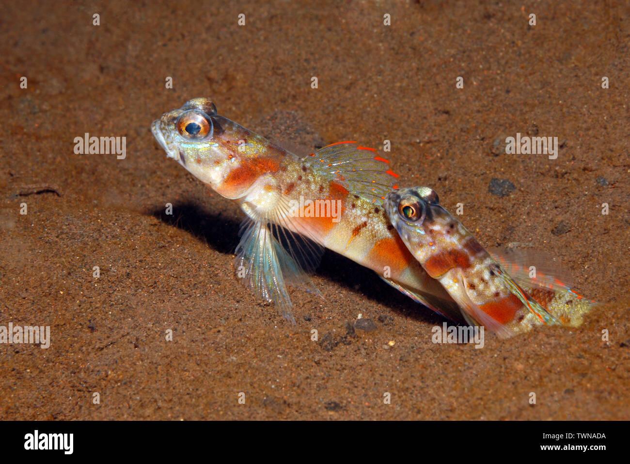 redmargin-shrimpgoby-amblyeleotris-rubrimarginata-pair-in-burrow-tulamben-bali-indonesia-bali-sea-indian-ocean-TWNADA.jpg