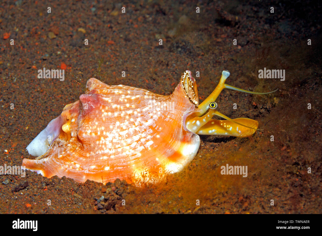 bubble-stromb-or-bubble-conch-euprotomus-bulla-previously-strombus-bulla-and-lambis-bulla-showing-the-eyes-and-radula-tulamben-bali-indonesia-TWNAER.jpg