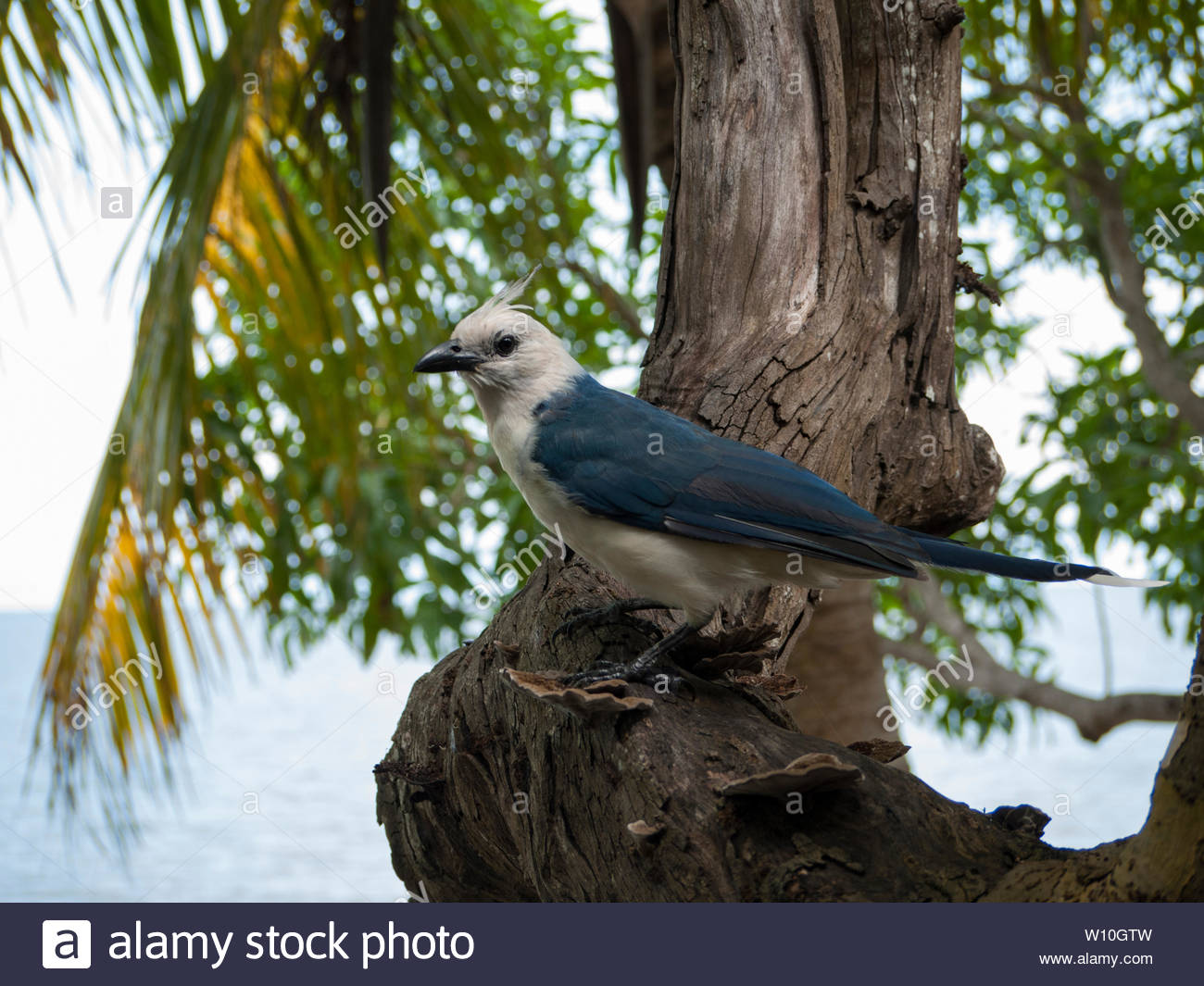 https://c7.alamy.com/comp/W10GTW/a-very-tame-partially-leucistic-white-throated-magpie-jay-eyes-diners-at-a-playa-santo-domingo-restaurant-on-ometepe-island-nicaragua-W10GTW.jpg