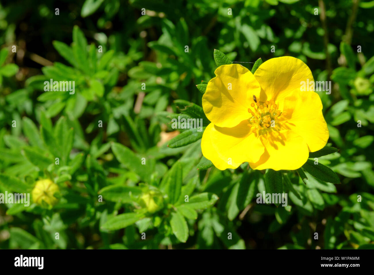 yellow flower growing on a shrub zala county hungary Stock Photo