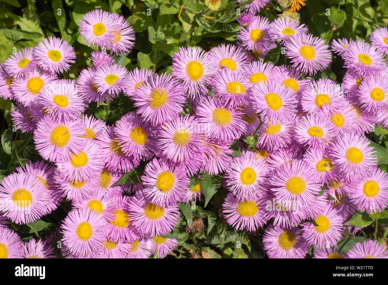 pink-daisy-flowers-W21TTD.jpg