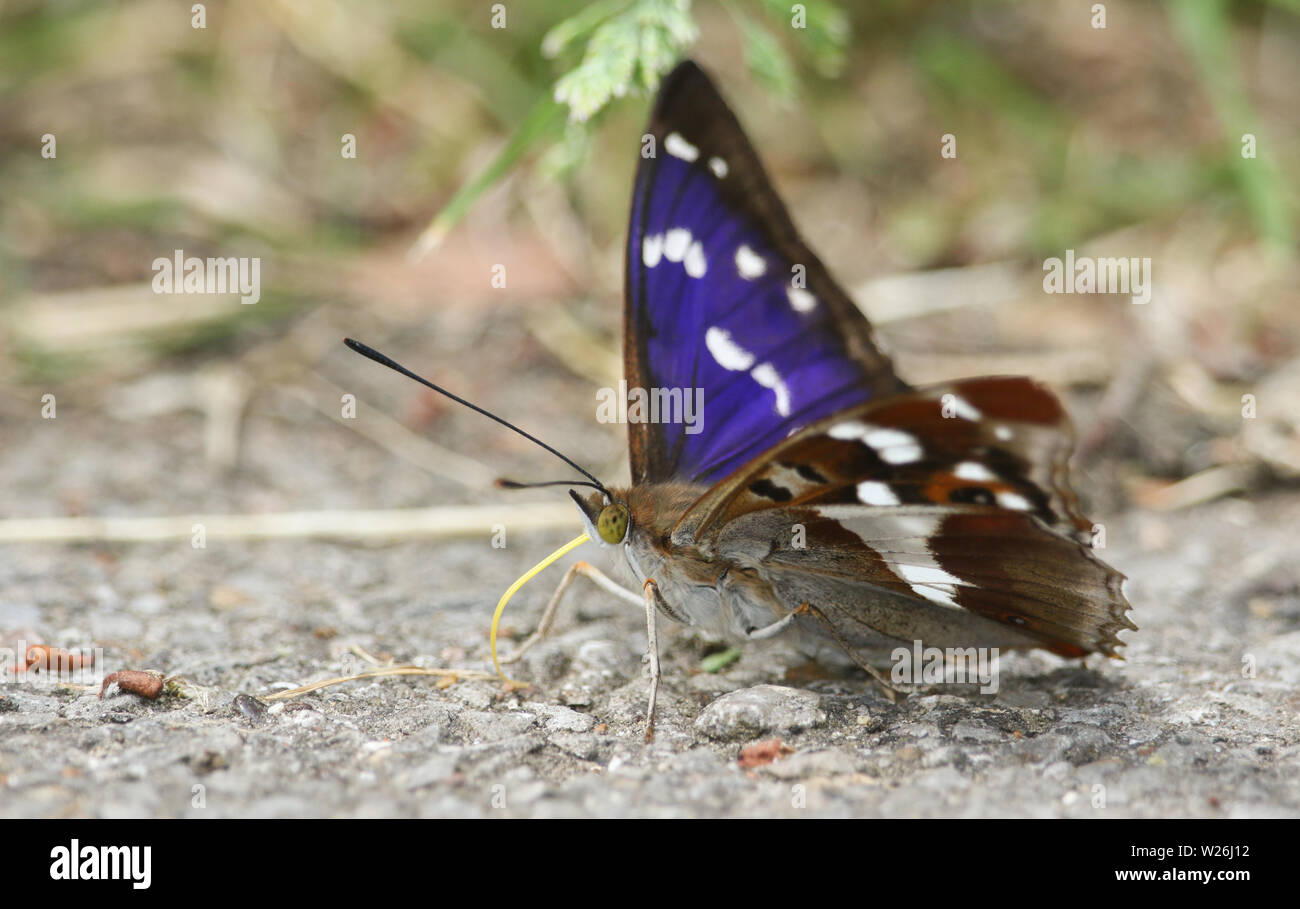 A rare Purple Emperor Butterfly, Apatura iris, feeding on minerals on the ground. Stock Photo