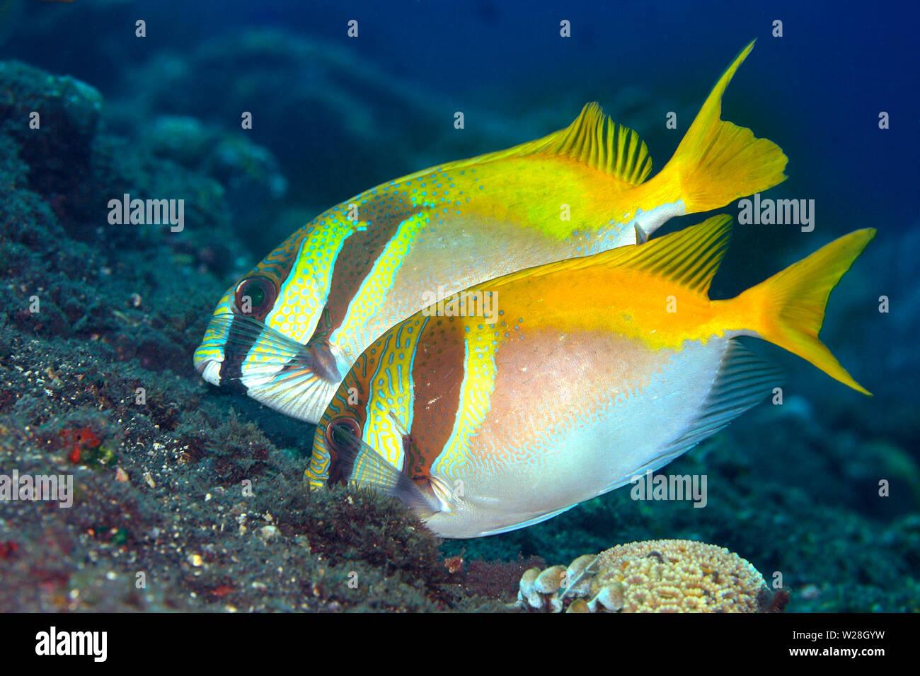 doublebar-rabbitfish-also-known-as-two-barred-rabbitfish-virgate-rabbitfish-and-barhead-spinefoot-siganus-virgatus-tulamben-bali-indonesia-W28GYW.jpg