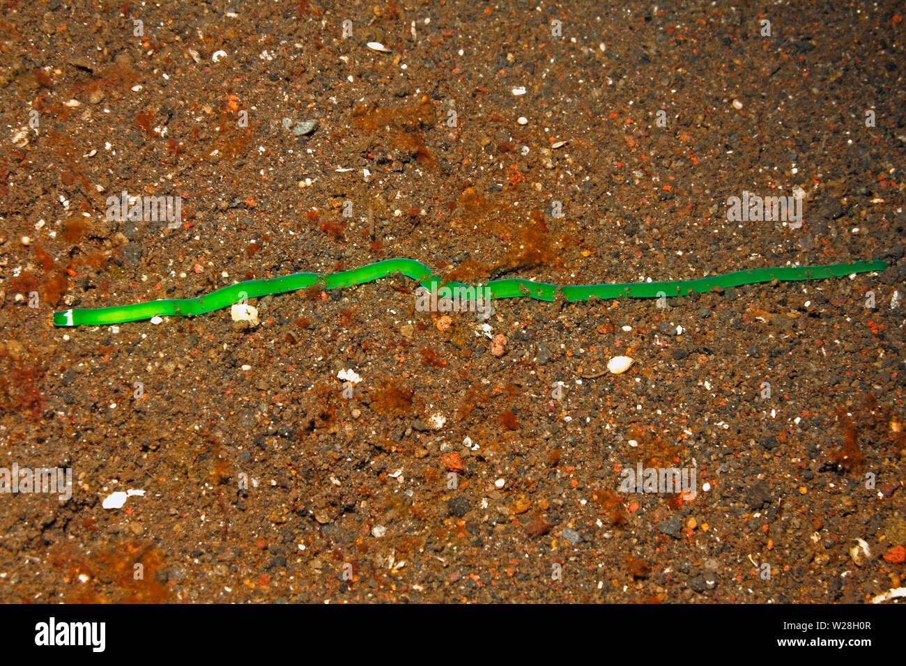 green-ribbon-worm-notospermus-sp-tulamben-bali-indonesia-bali-sea-indian-ocean-W28H0R.jpg