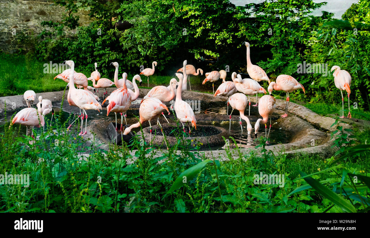 wading-birds-chilean-flamingoes-in-pond-