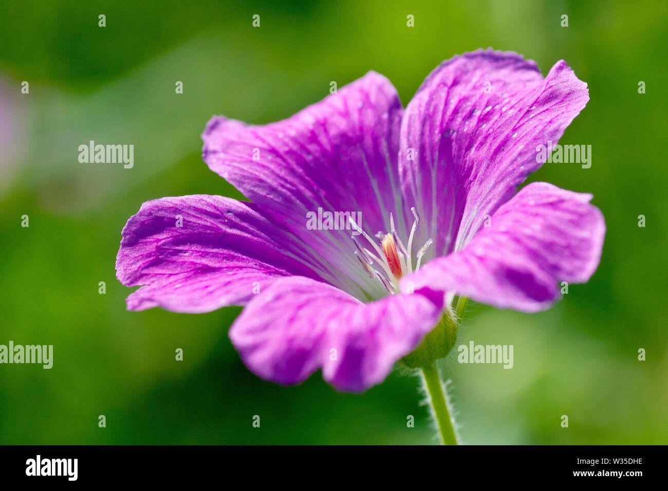 wood-cranes-bill-geranium-sylvaticum-clo
