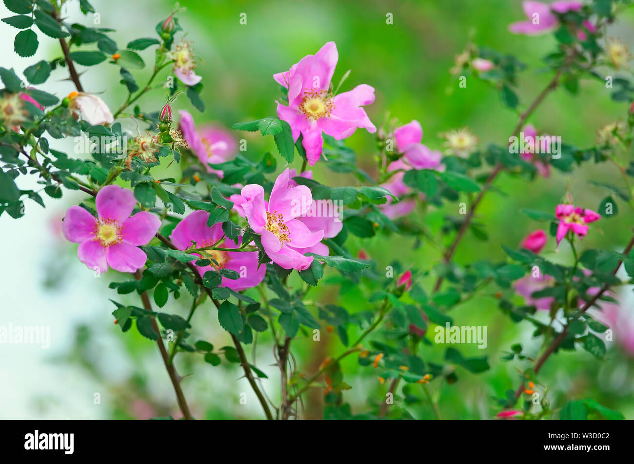 A wild Nootka rose bush (Rosa nutkana) named after an island off Vancouver, Canada named Nootka. Stock Photo