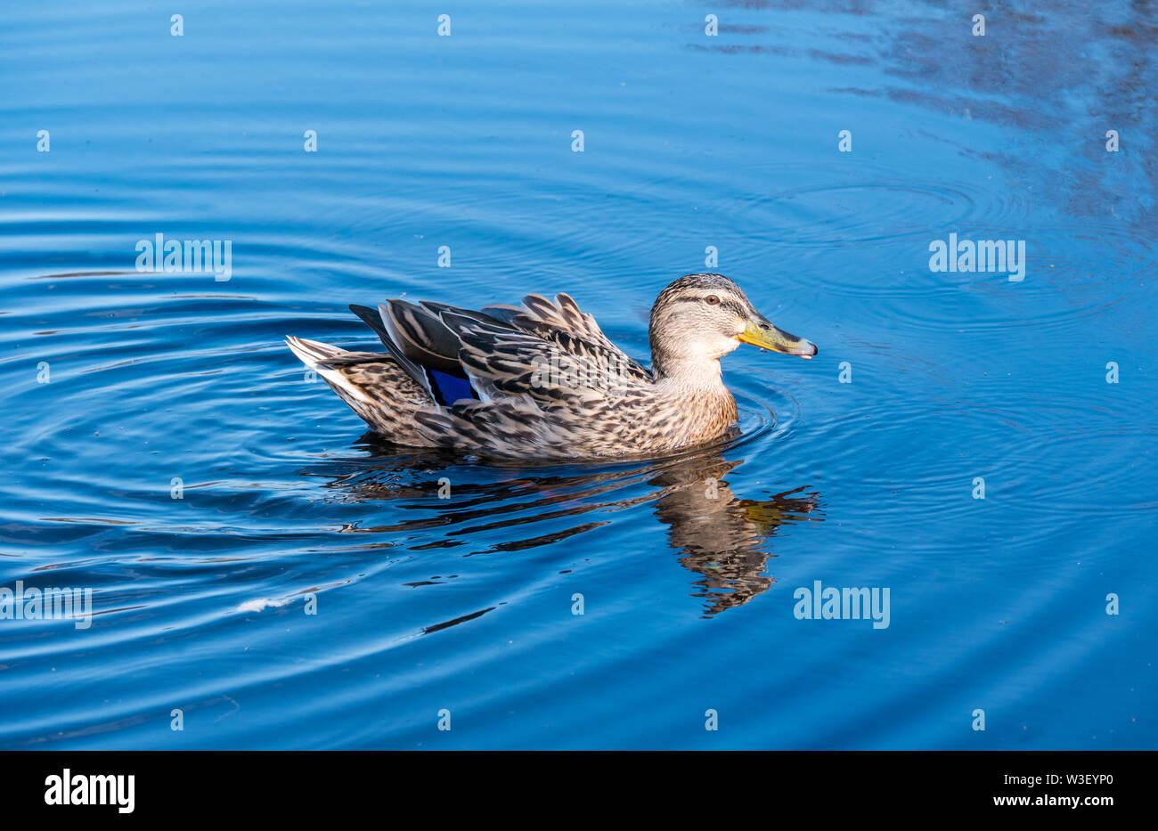 female-mallard-duck-anas-platyrhynchos-i