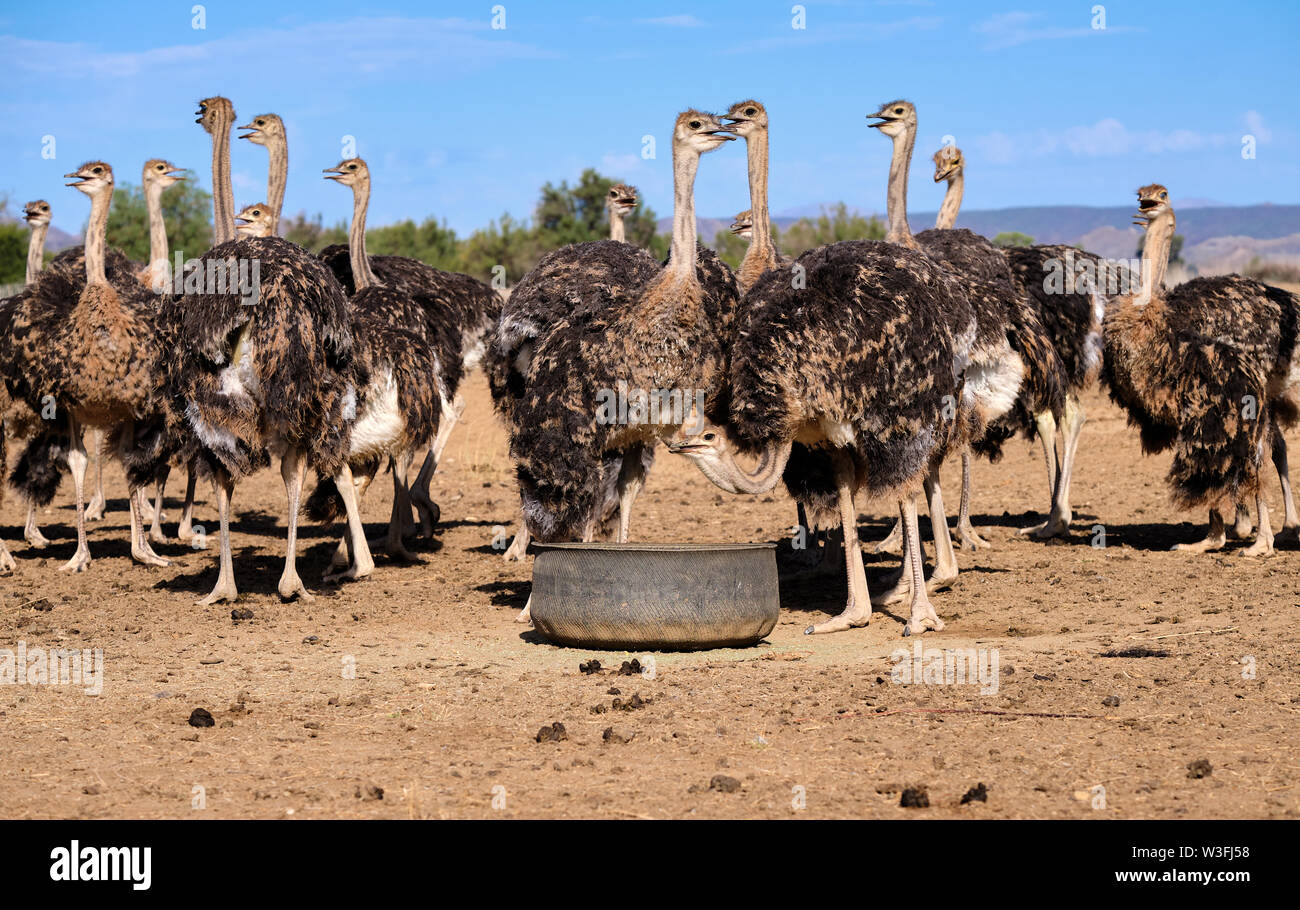 large-group-of-ostriches-on-a-farm-surrounding-feeding-pail-birds-are-looking-towards-various-directions-W3FJ58.jpg