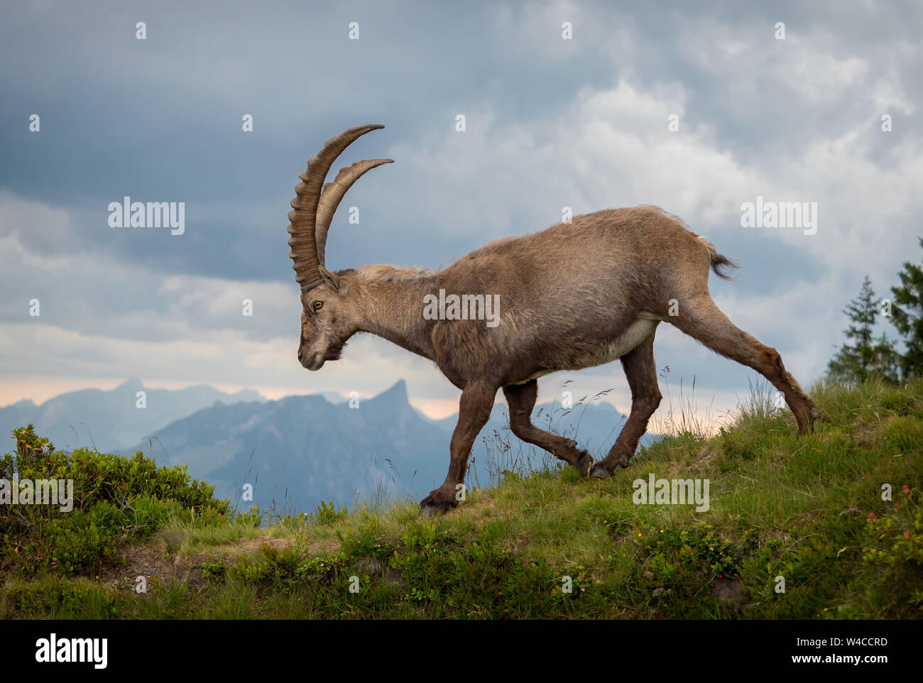 walking-alpine-ibex-at-niederhorn-W4CCRD.jpg