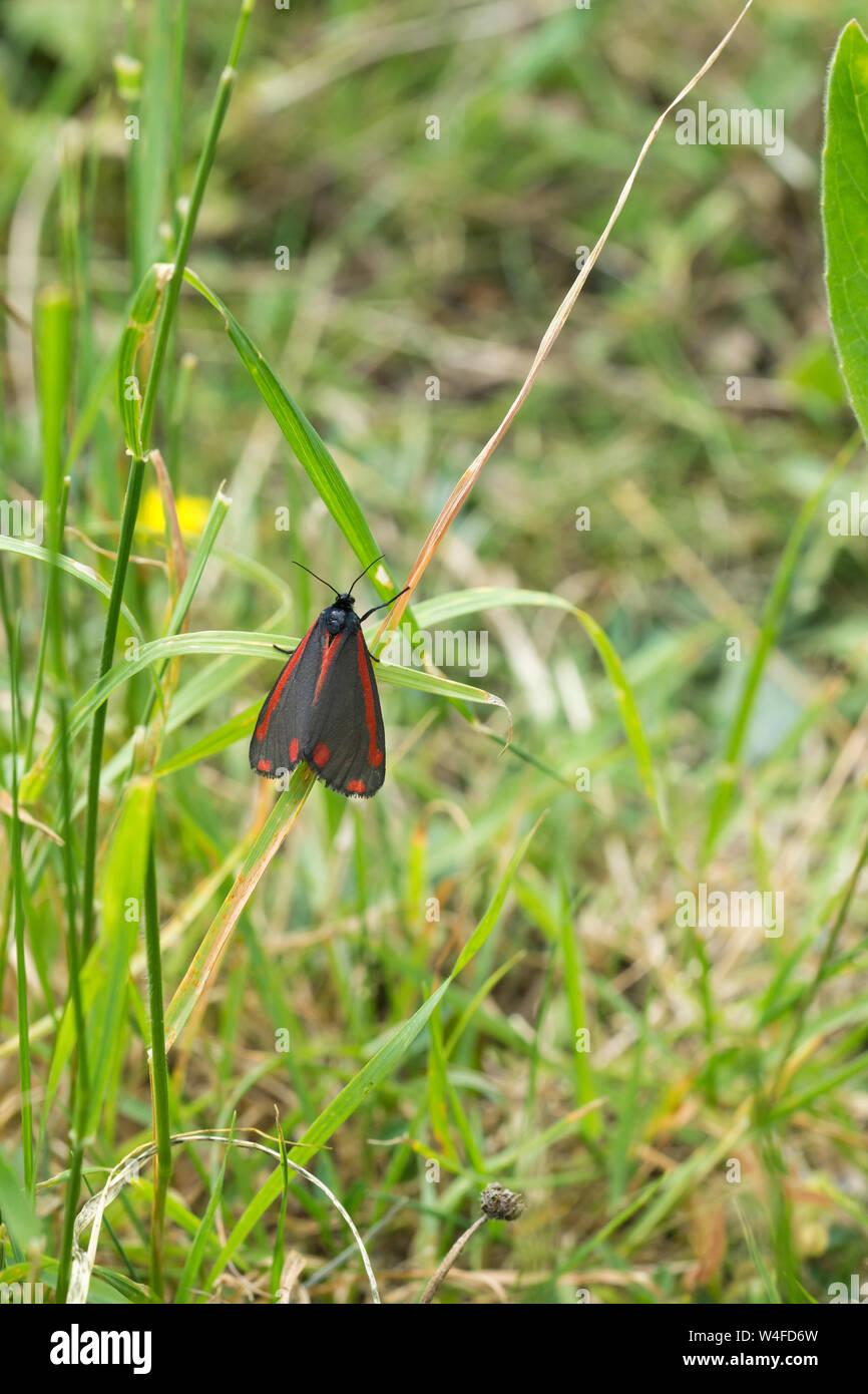 cinnabar-moth-W4FD6W.jpg