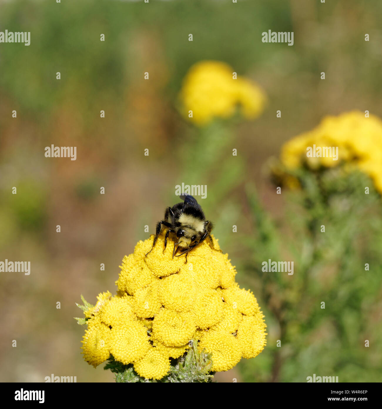 closeup-of-bumblebee-gathering-pollen-on