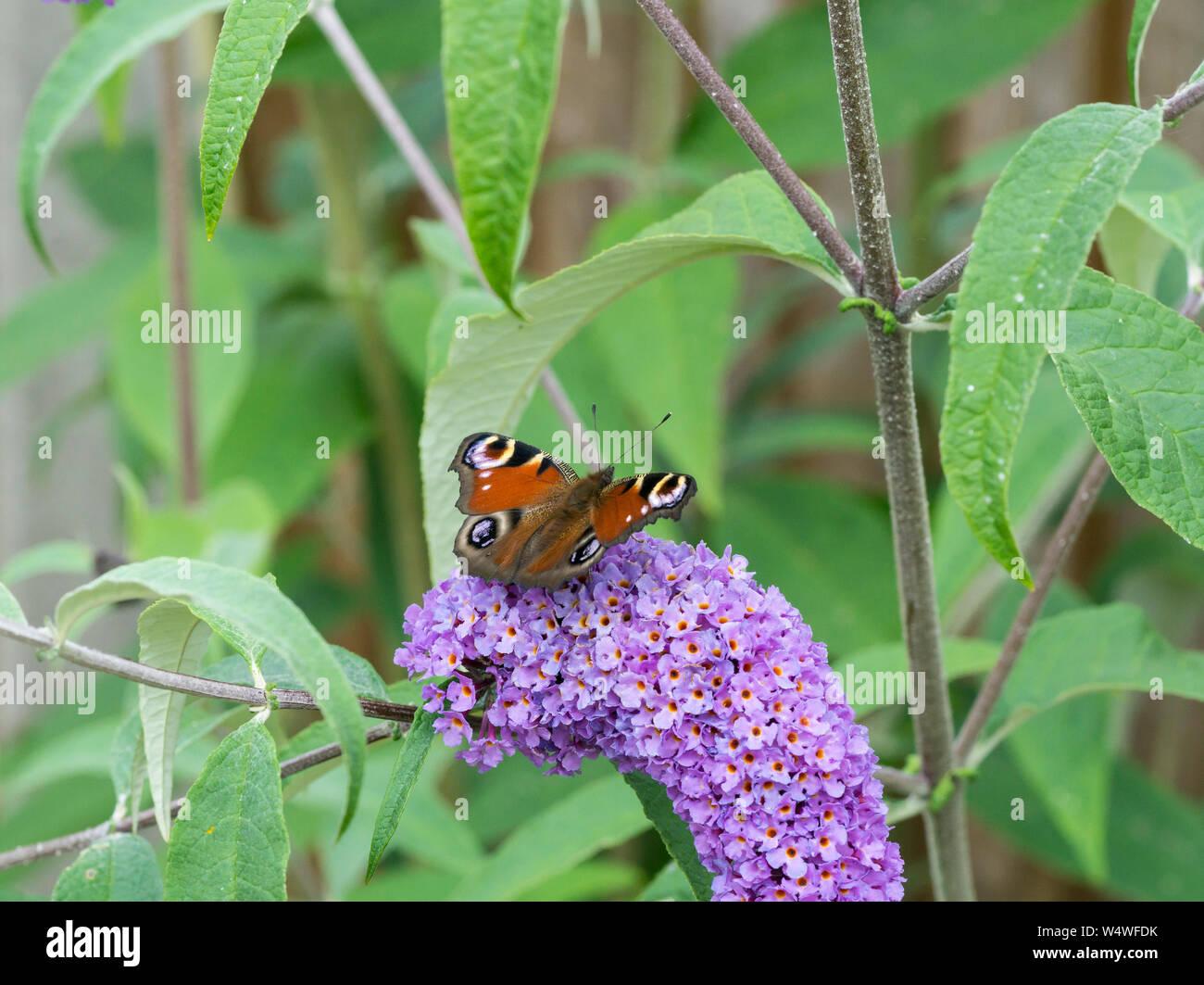 peacock-butterfly-feeding-on-blossom-of-buddleja-bush-W4WFDK.jpg