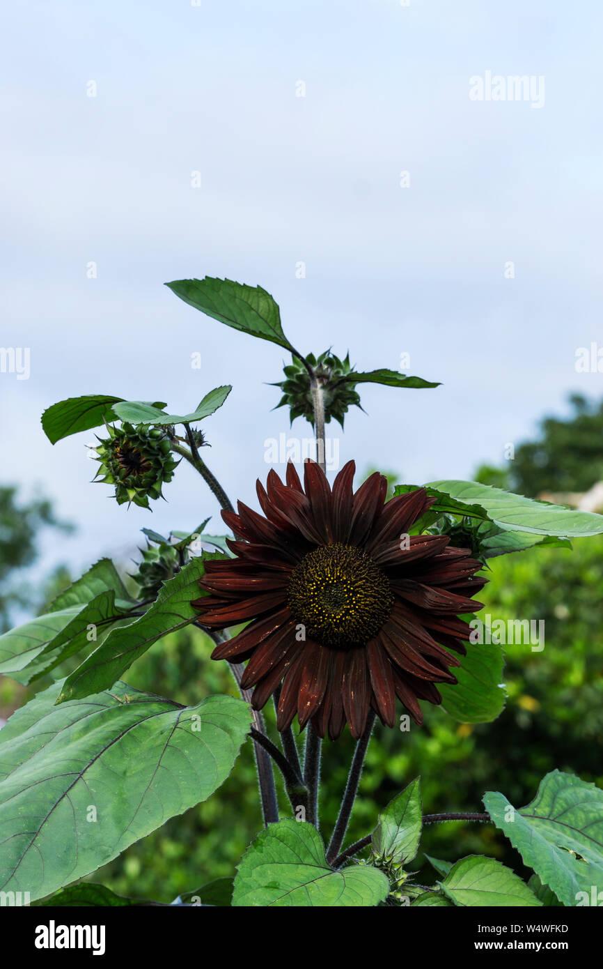 sunflower-black-magic-W4WFKD.jpg