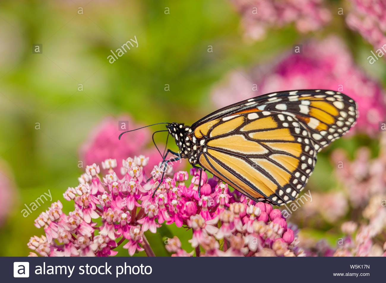 monarch-butterfly-danaus-archippus-necta