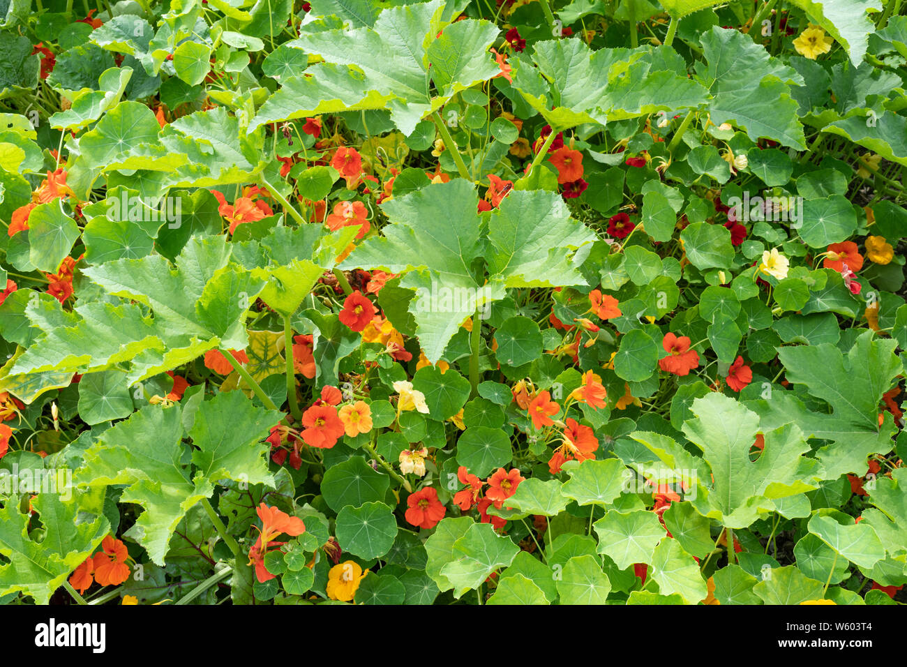 dwarf-nasturtiums-tropaeolum-minus-grown-among-squash-plants-to-protect-against-aphids-in-a-vegetable-garden-uk-summer-W603T4.jpg