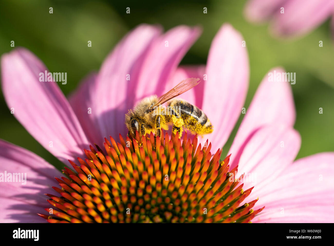 a-worker-european-honey-bee-apis-mellife