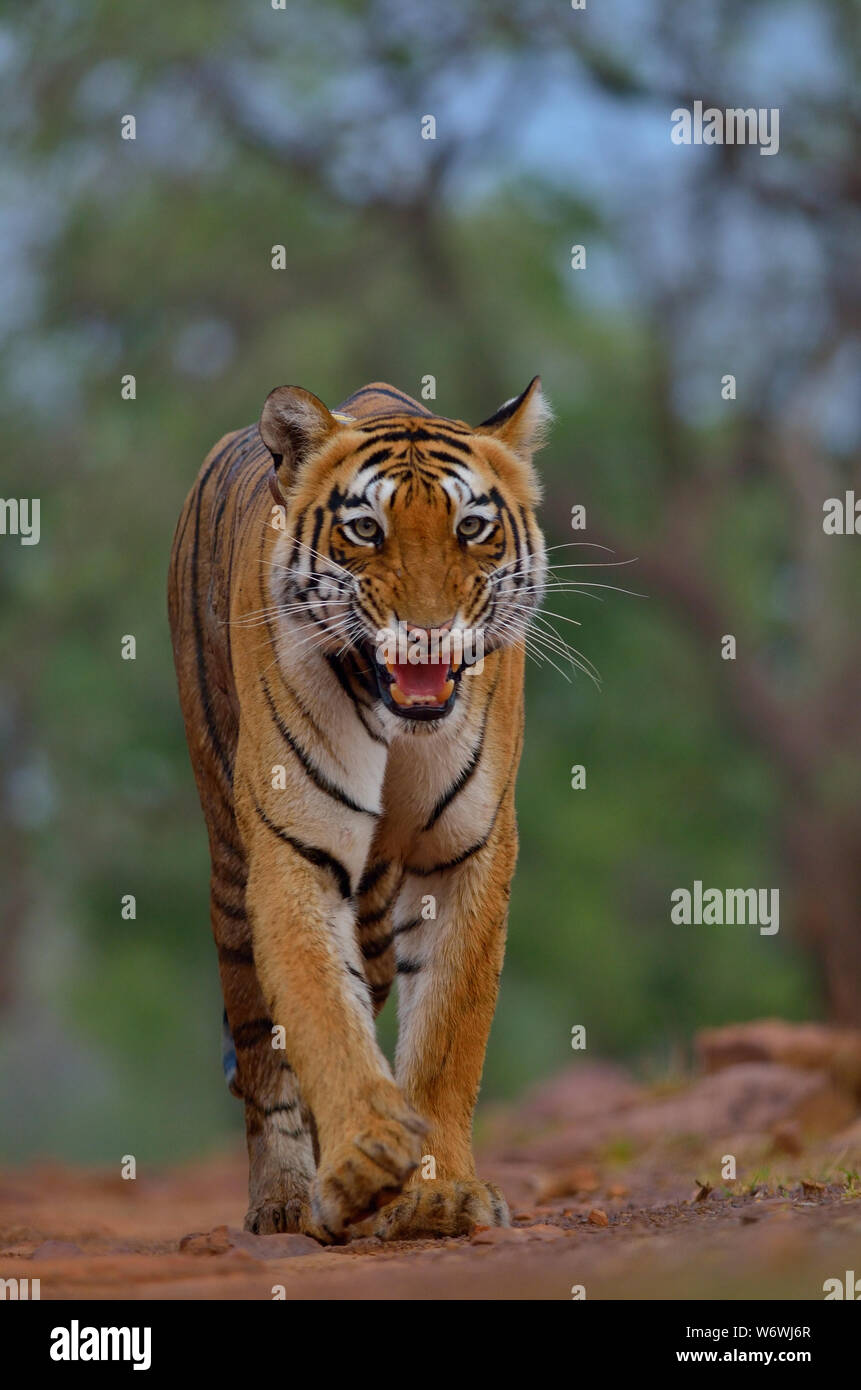 Bengal Tiger from central-Indian landscape Stock Photo