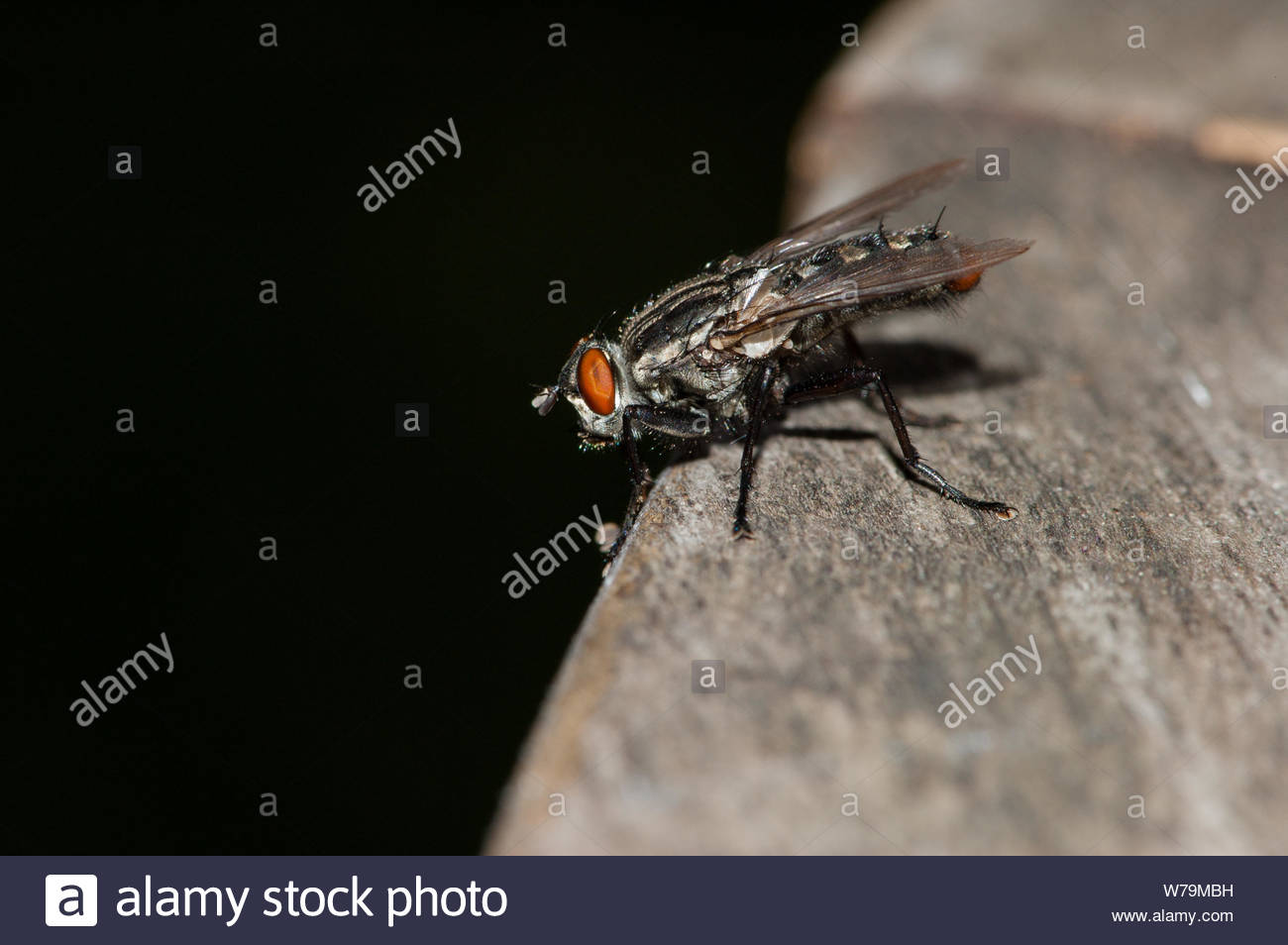 Housefly (Musca domestica) on a wooden outdoor table edge. Stock Photo